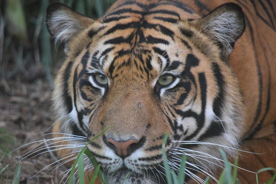 Crouching Tiger Photograph