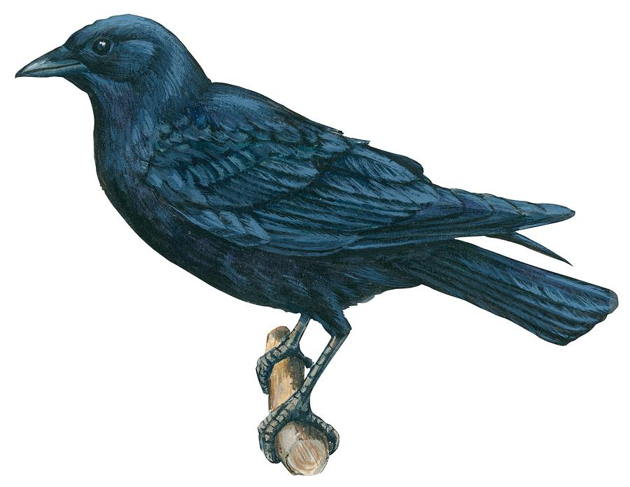 Bird Drawing - Crow by Anonymous