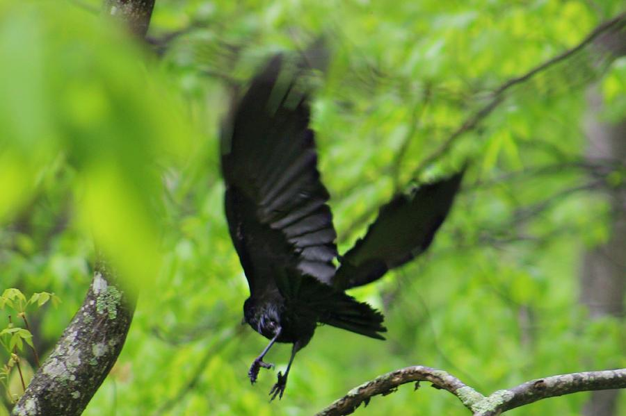 Crow Photograph - Crow by Candice Trimble