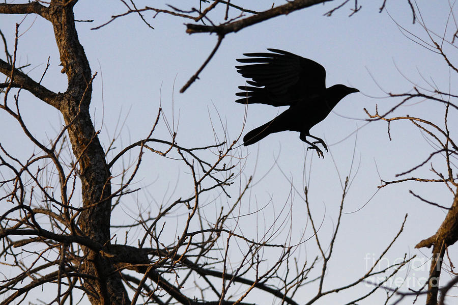Crow Photograph - Crow In Flight by Jill Bell