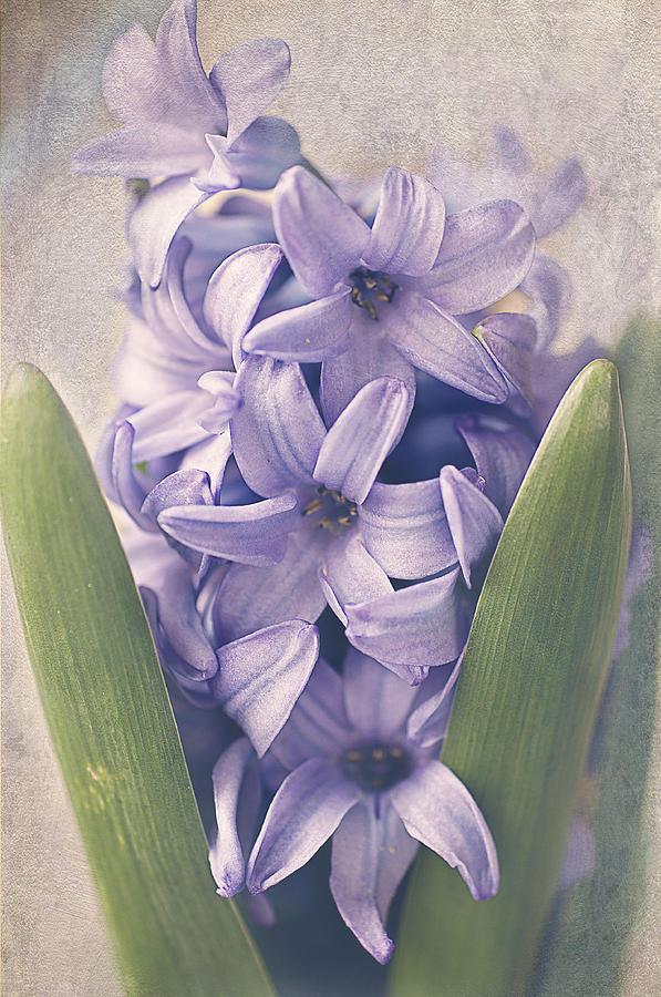 Hyacinth Photograph - Crowded by Faith Simbeck