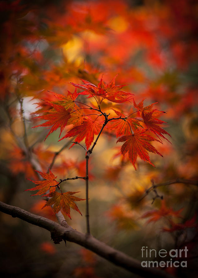 Acer Photograph - Crown Of Fire by Mike Reid