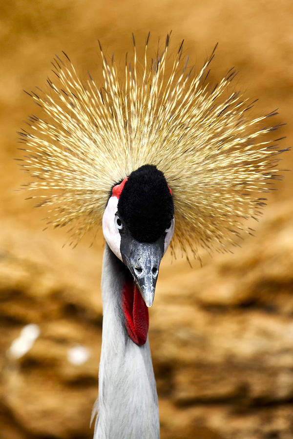 Crowned Photograph - Crowned Crane - Balearica Regulorum by Goyo Ambrosio