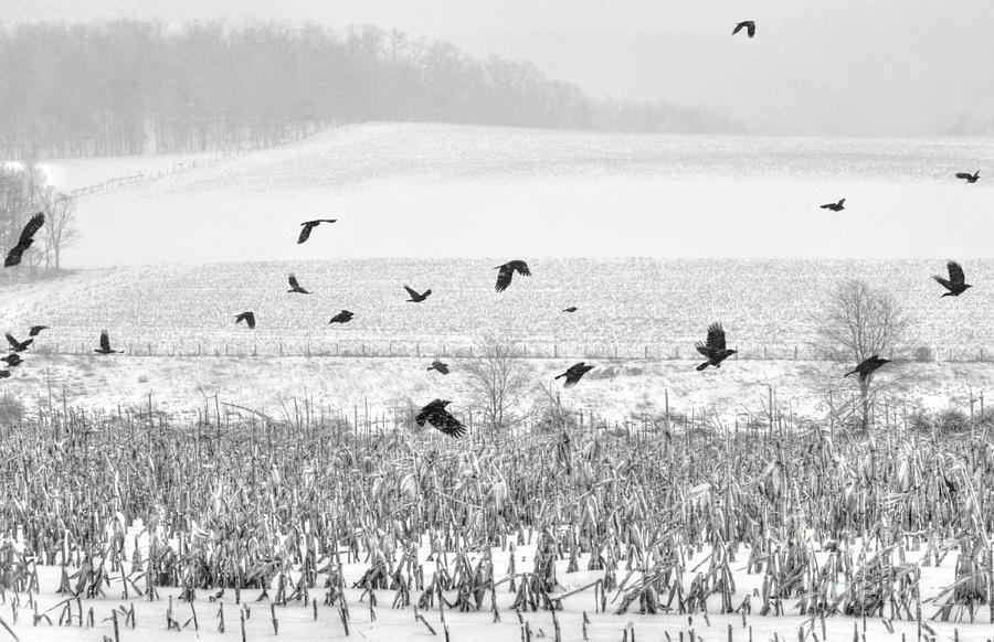 Crows Photograph - Crows In Cornfield Winter by Dan Friend