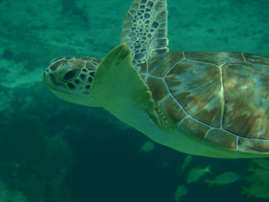 Sea Turtle Photograph - Cruisin by Kimberly Perry