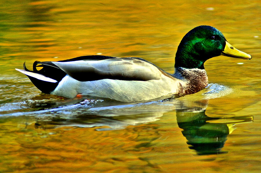 Mallard Photograph - Cruisin by Frozen in Time Fine Art Photography