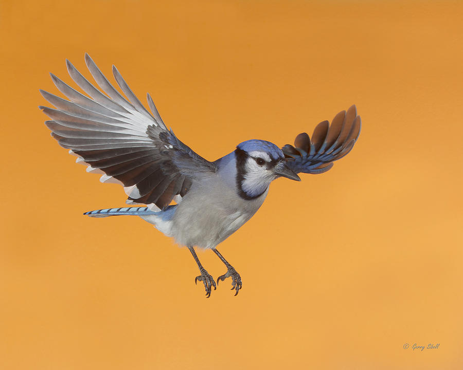 Nature Photograph - Cruising The Backyard by Gerry Sibell