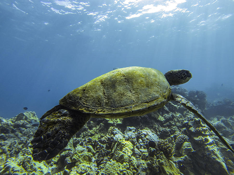 Sea Turtle Photograph - Cruising The Reef by Brad Scott