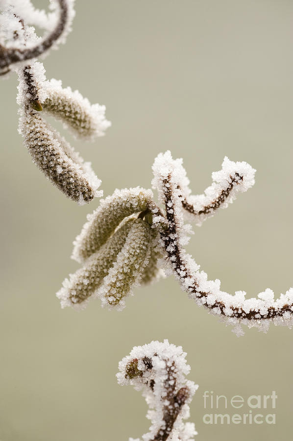 Catkin Photograph - Crunchy Catkins by Anne Gilbert