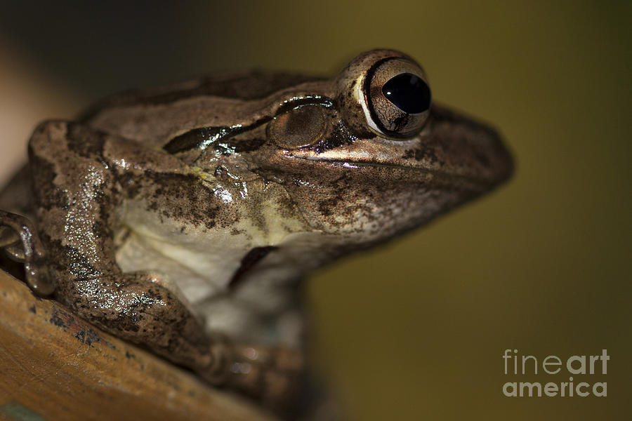 Cuban Treefrog by Meg Rousher