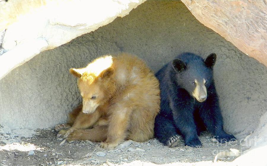 Bear Cubs Photograph - Cubs In A Pod by Kim Petitt