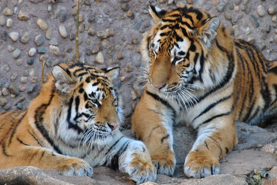 Denver Zoo Photograph - Cubs by Paulina Roybal