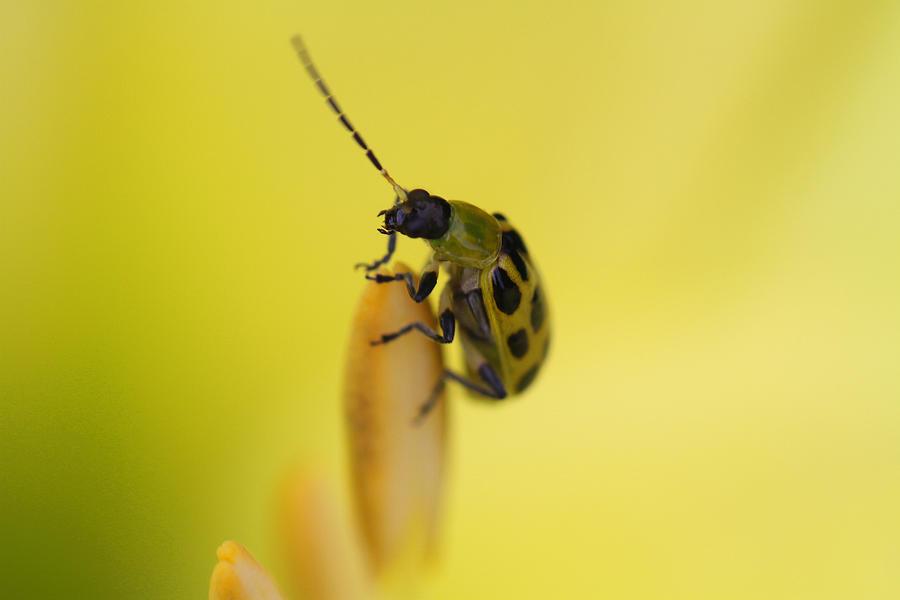 Summer Photograph - Cucumber Beetle by David Yunker