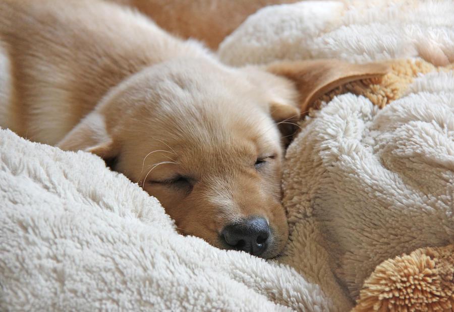 Puppy Photograph - Cuddling Labrador Retriever Puppy by Jennie Marie Schell