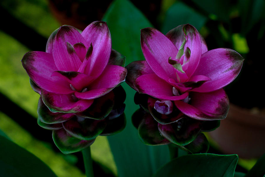 Curcuma Angustifolia Singapore Flower Photograph by Donald Chen