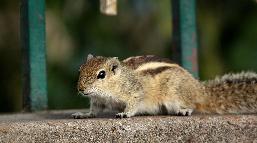 Curious Squirrel Photograph - Curiosity by Ramabhadran Thirupattur