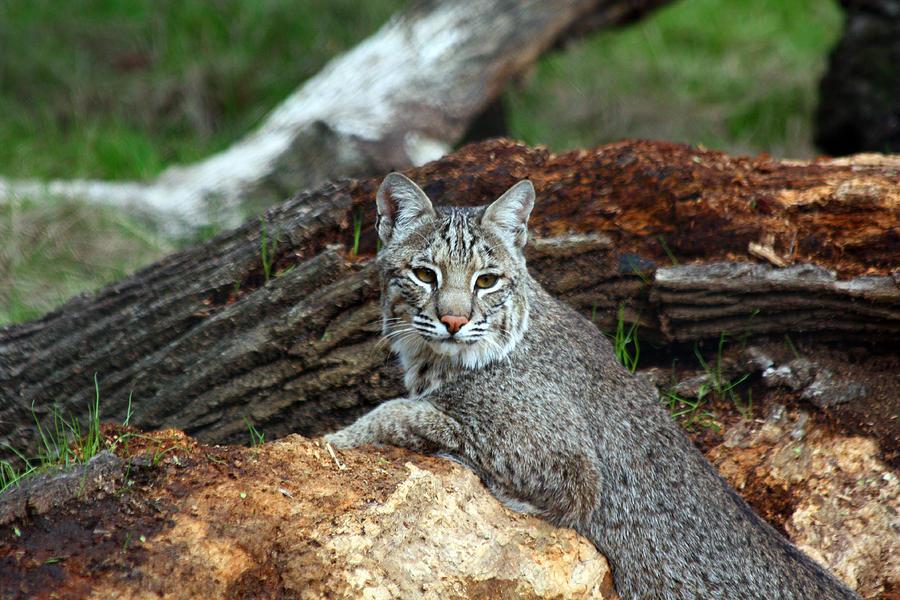 Bobcat Photograph - Curious Bobcat  by Jean Clark