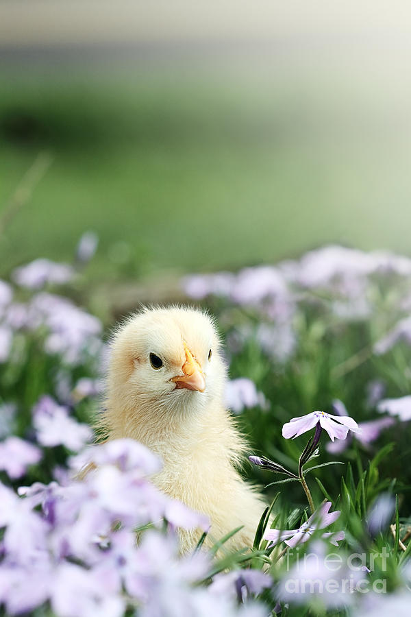 Chick Photograph - Curious Chick by Stephanie Frey