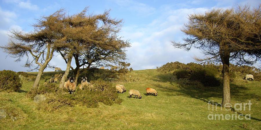 Landscape Photograph - Curious Cumbrian Sheep by Malcolm Suttle