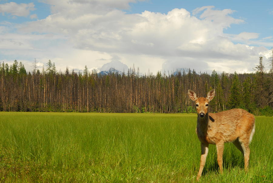 Wilderness Photograph - Curious Deer In Glacier National Park by Larry Moloney