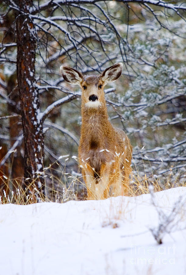 Curious Doe In The Snowy Woods Photograph