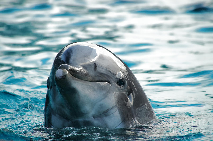 Dolphin Photograph - Curious Dolphin by Mariola Bitner