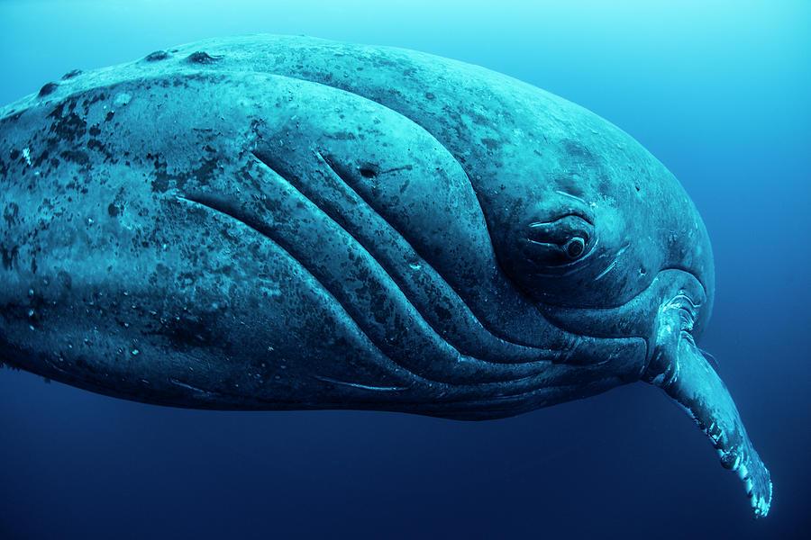 Curious Female Humpback Whale, Closeup Photograph by Rodrigo Friscione