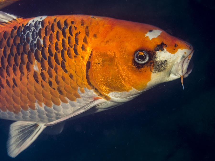 Koi Photograph - Curious Koi by Jean Noren