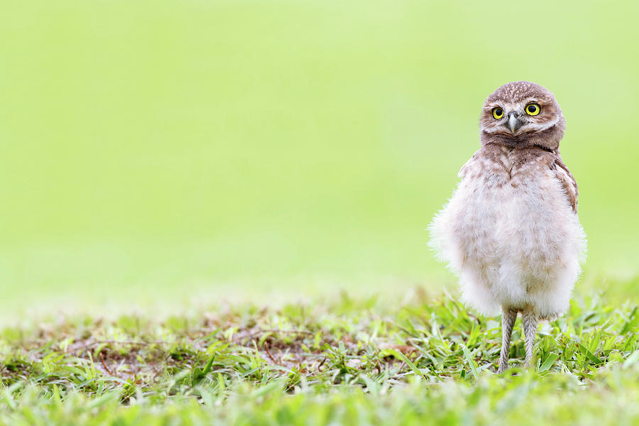 Curious Owlet Photograph by Mlorenzphotography