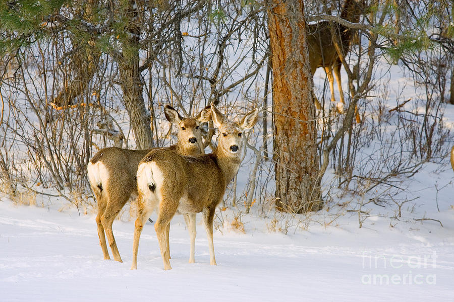 Curious Pair Of Mule Deer In Snow Photograph