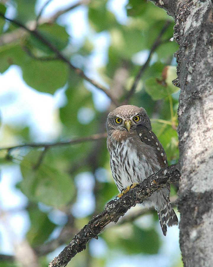 Curious Pygmy Owl by Jan Piet