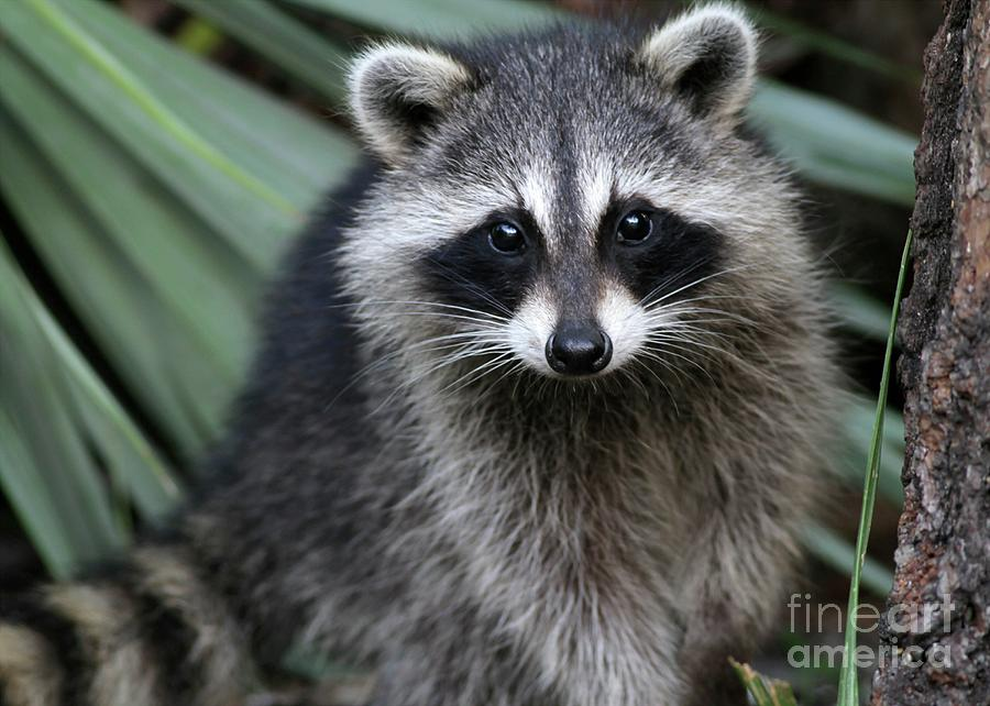 Curious Racoon Photograph By Sabrina L Ryan