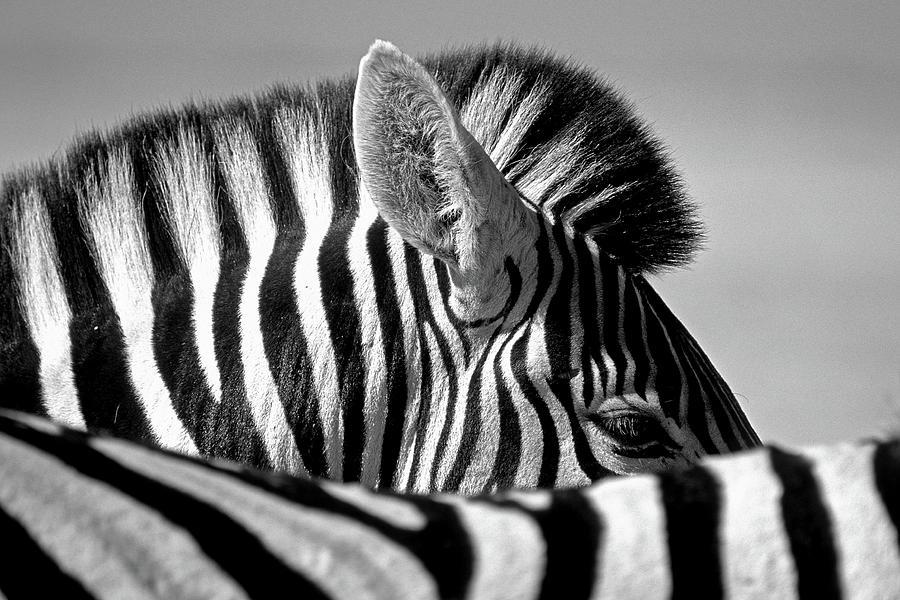 Etosha Photograph - Curious Zebra by Marc Pelissier