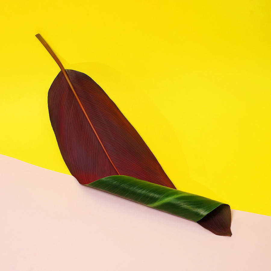 Yellow Photograph - Curled Banana Leaf On Color Blocked by Juj Winn