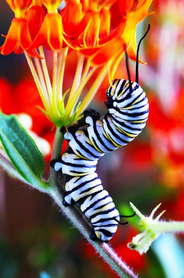 Monarch Photograph - Curly Caterpiller by Betsy Straley