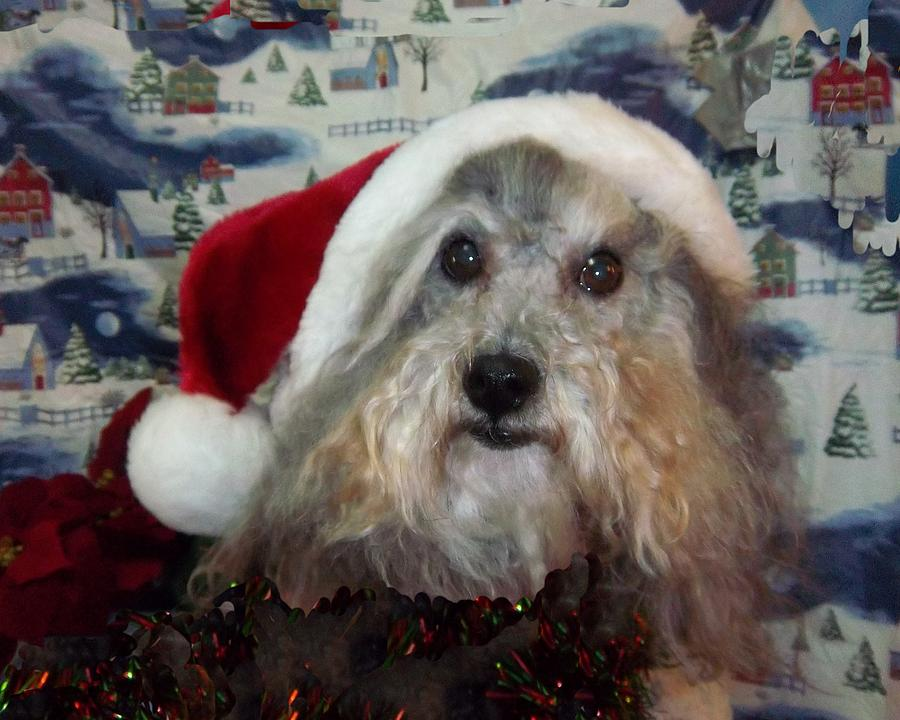 Canine Photograph - Curlys Christmas by Rosalie Klidies