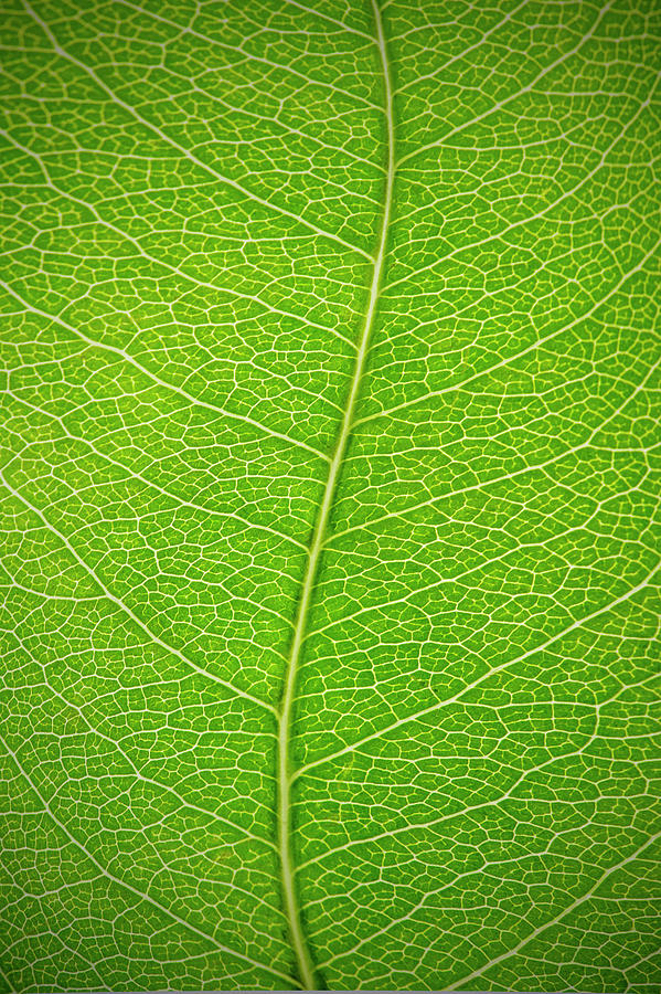 Curved Green Leaf With Leaf Veins Photograph by Gregor Schuster