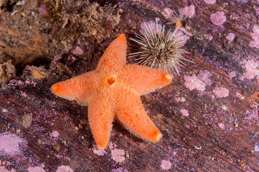 Cushion Sea Star Photograph - Cushion Winged Sea Star by Andrew J. Martinez