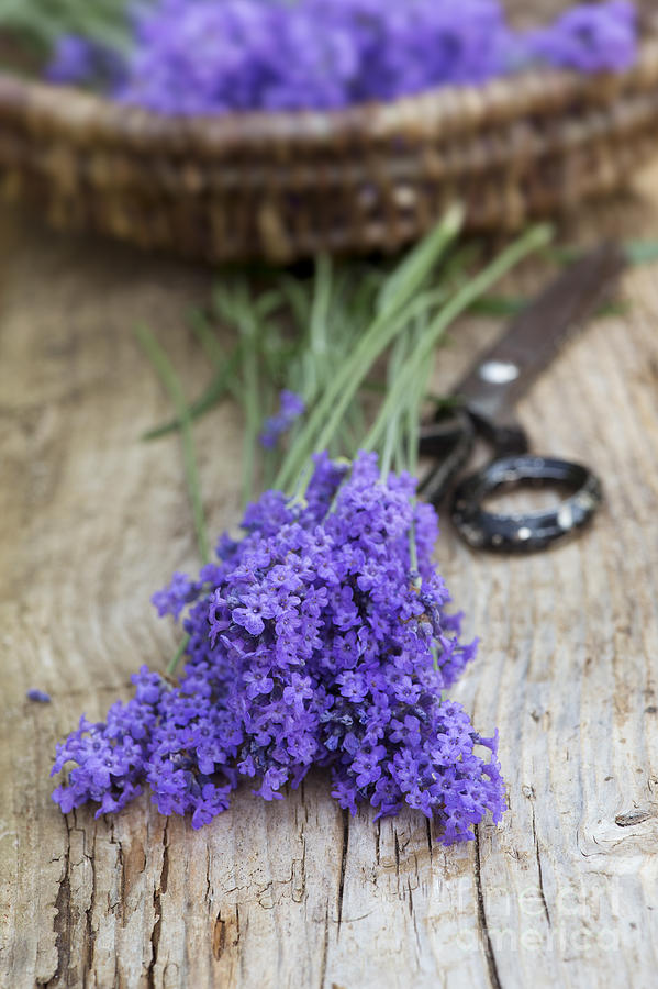 Lavender Photograph - Cut Lavender by Tim Gainey