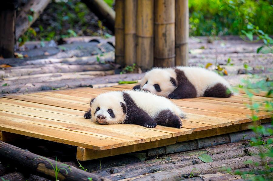 cute baby Panda Photograph by Kiszon Pascal