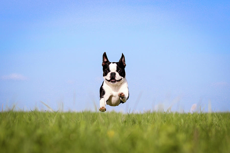 Cute Boston Terrier Flying Over Grass Photograph by Tereza Jancikova