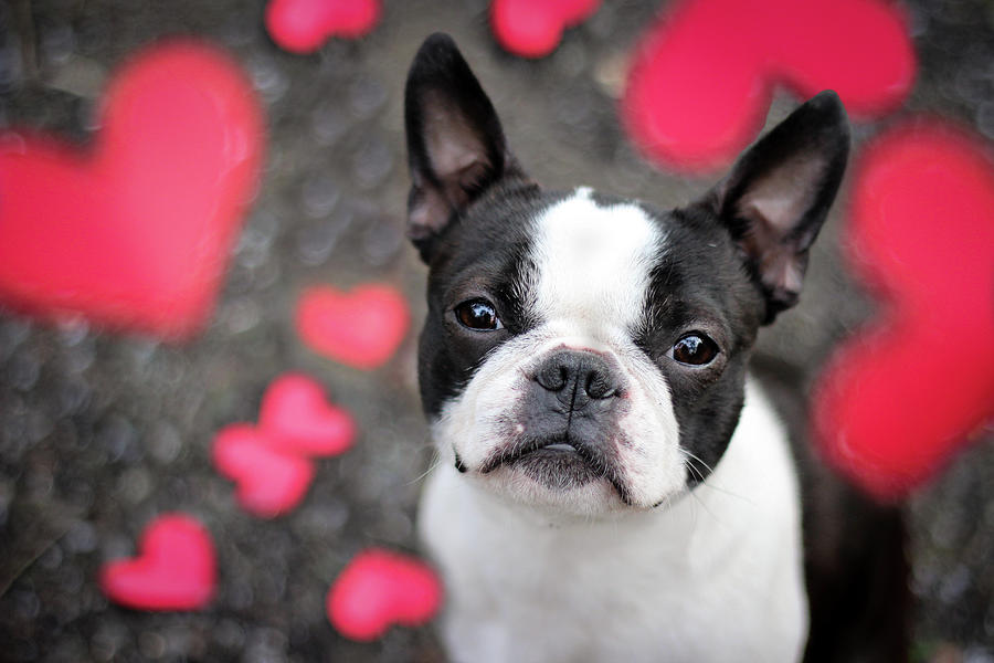 Cute Boston Terrier Puppy Surrounded By Photograph by Tereza Jancikova