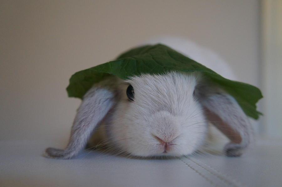 Animal Photograph - Cute Bunny by Nikki  Wang