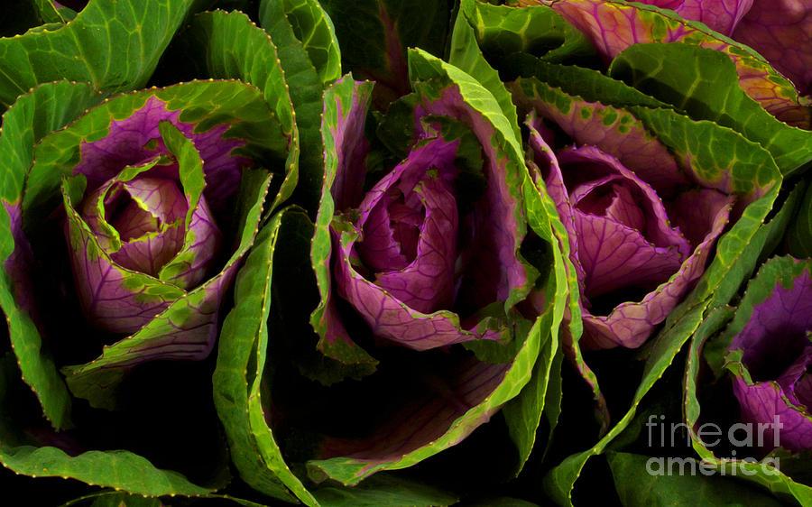Cute Cabbage Photograph by Jolanta Meskauskiene