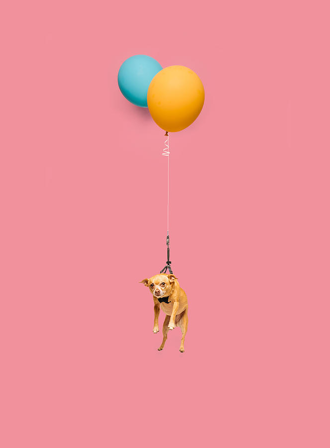 Cute Dog Tied To A Balloon And Floating Photograph by Ian Ross Pettigrew