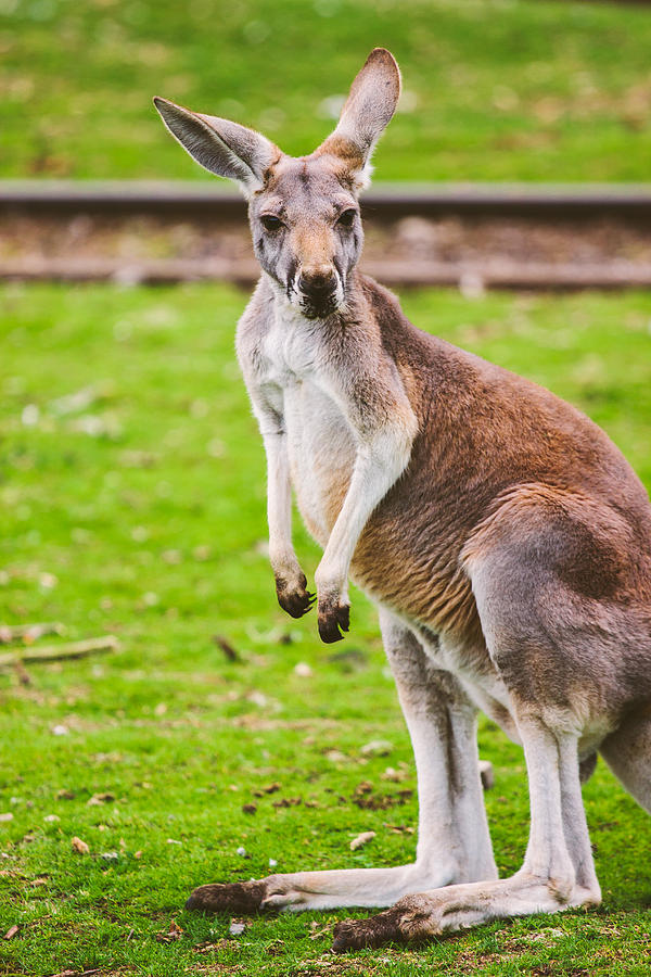 Cute Kangaroo Portrait Photograph By Pati Photography