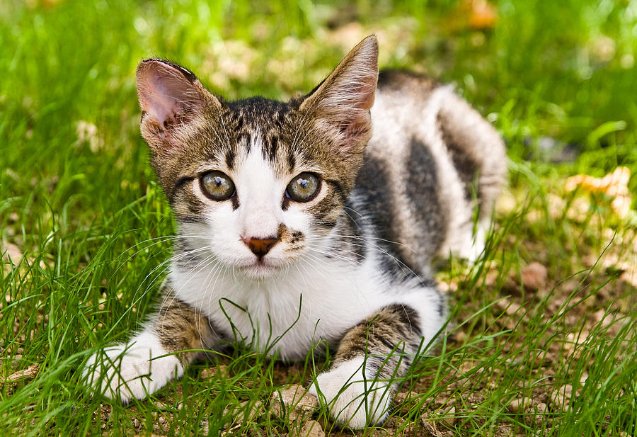 Cats Photograph - Cute Kitty In The Grass by Cristina-Velina Ion