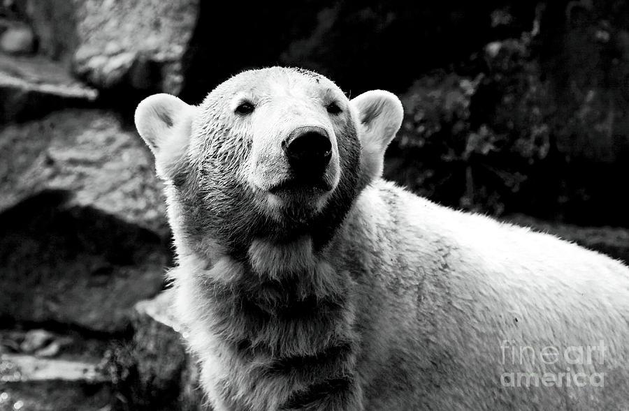 Cute Knut Photograph - Cute Knut by John Rizzuto