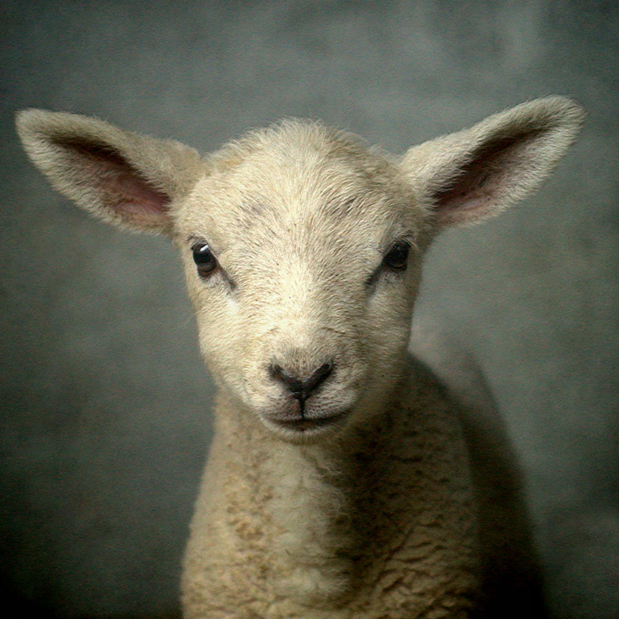 Cute New Born Lamb Photograph by Bob Van Den Berg Photography