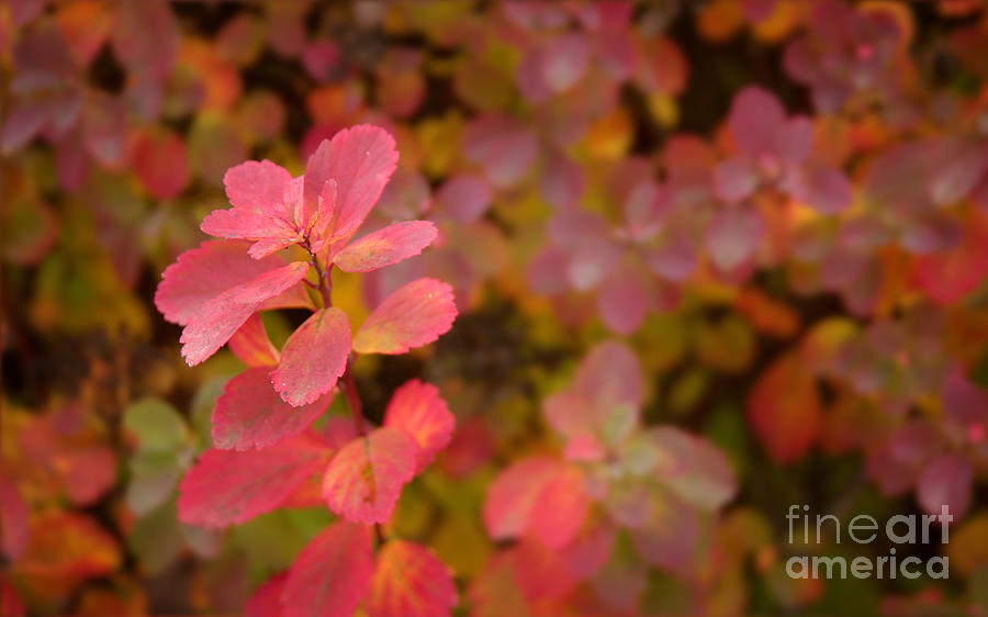 Wildflower Photograph - Cute Pink Plant by Jolanta Meskauskiene